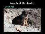 animals of the tundra6