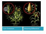 teosinte to maize to corn