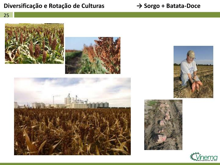 Diversificação e Rotação de Culturas                     → Sorgo + Batata-Doce