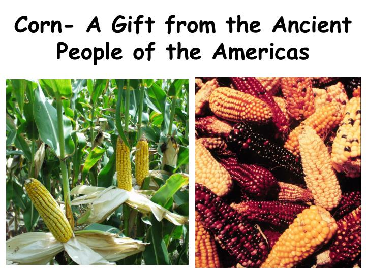 corn a gift from the ancient people of the americas n.