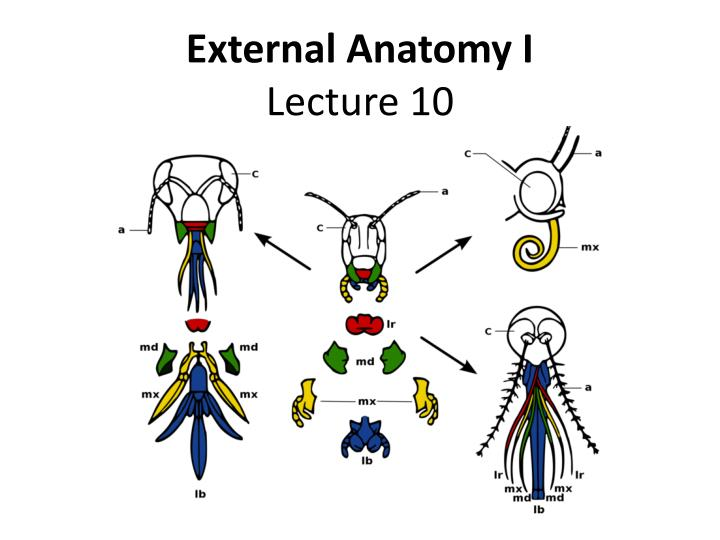 external anatomy i lecture 10 n.