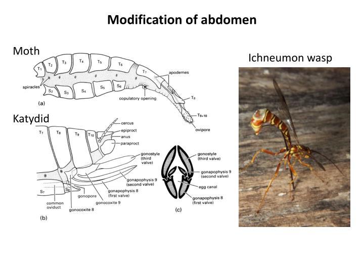 Modification of abdomen