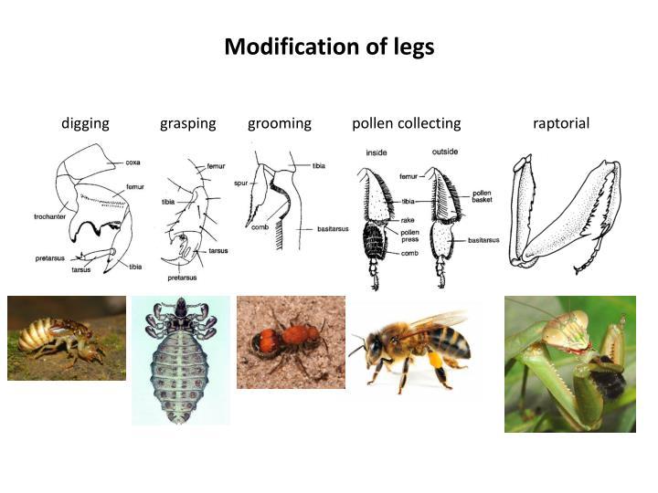 Modification of legs