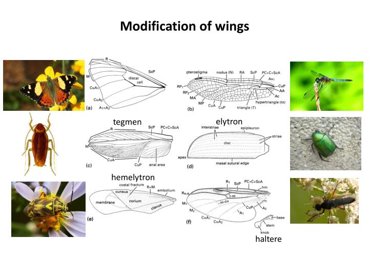 Modification of wings