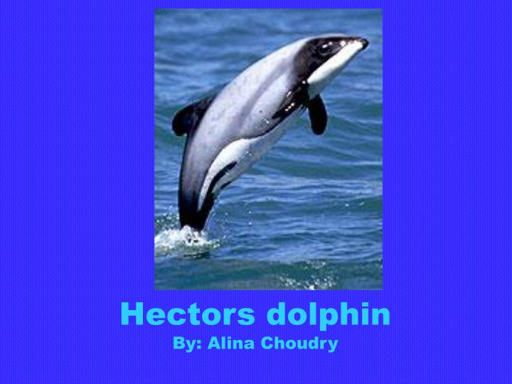 hectors dolphin by alina choudry n.