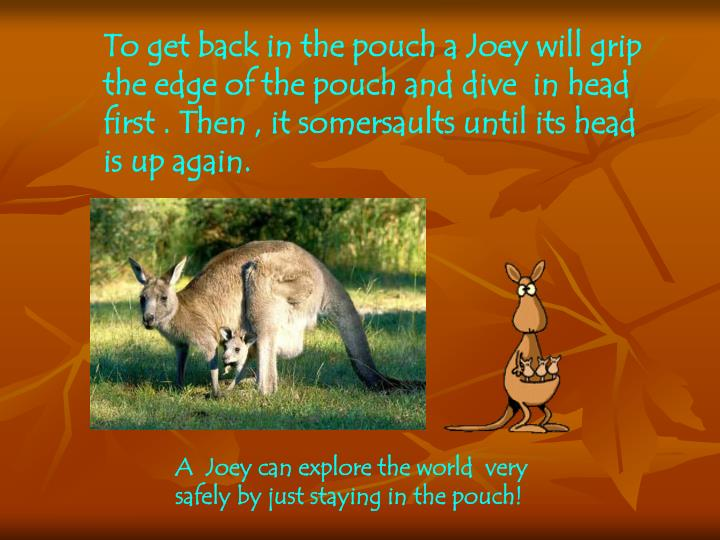 To get back in the pouch a Joey will grip the edge of the pouch and
