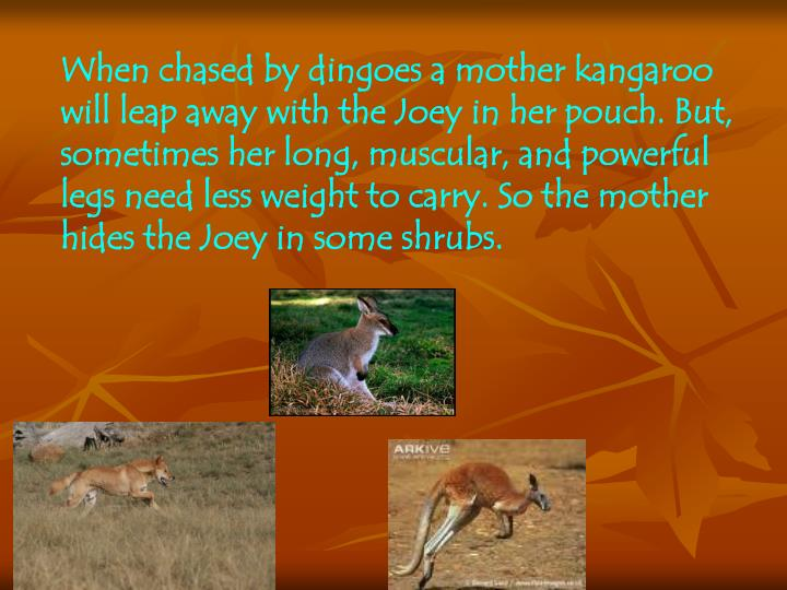 When chased by dingoes a mother kangaroo will leap away with the Joey in her pouch. But,  sometimes her long, muscular, and powerful legs need less weight to carry. So the mother hides the Joey in some shrubs.