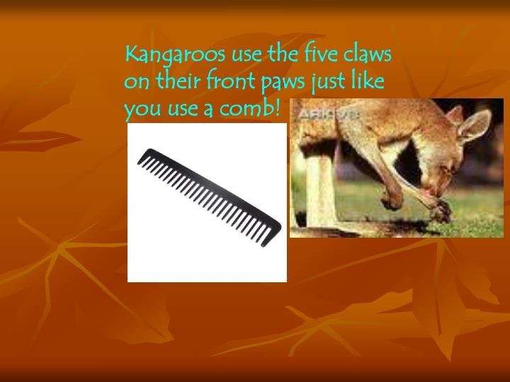 Kangaroos use the five claws on their front paws just like you use a comb!