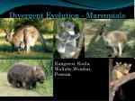 divergent evolution marsupials