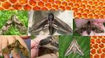 hawk moth pics