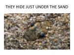 they hide just under the sand