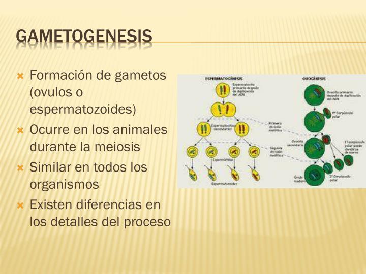 Reproduccion asexual gametogenesis humana