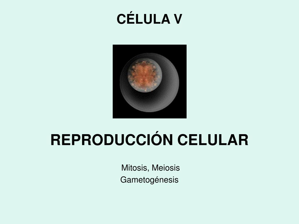Reproduccion asexual gametogenesis meiosis