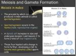 meiosis and gamete formation
