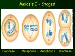 meiosis i stages