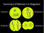 summary of meiosis i in diagrams1