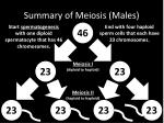 summary of meiosis males
