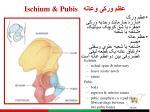 ischium pubis