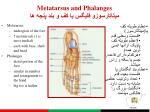 metatarsus and phalanges