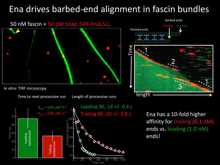Ena drives barbed-end alignment in fascin bundles