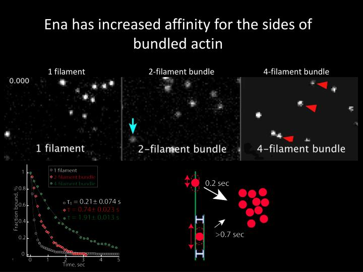 Ena has increased affinity for the sides of bundled actin