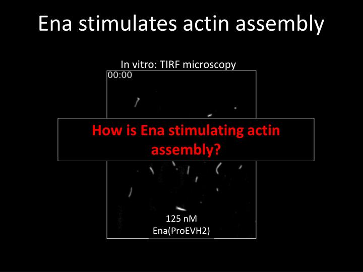 Ena stimulates actin assembly