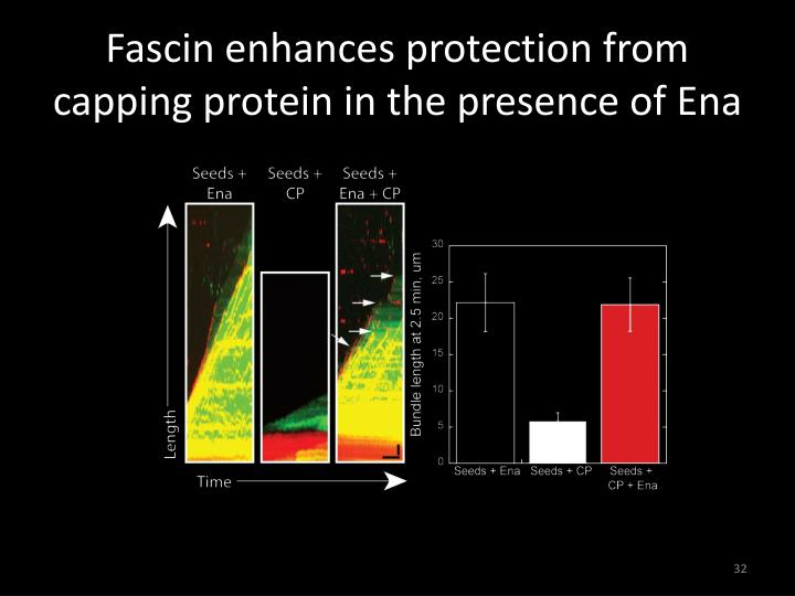 Fascin enhances protection from capping protein in the presence of Ena