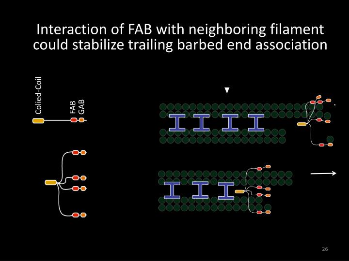 Interaction of FAB with neighboring filament could stabilize