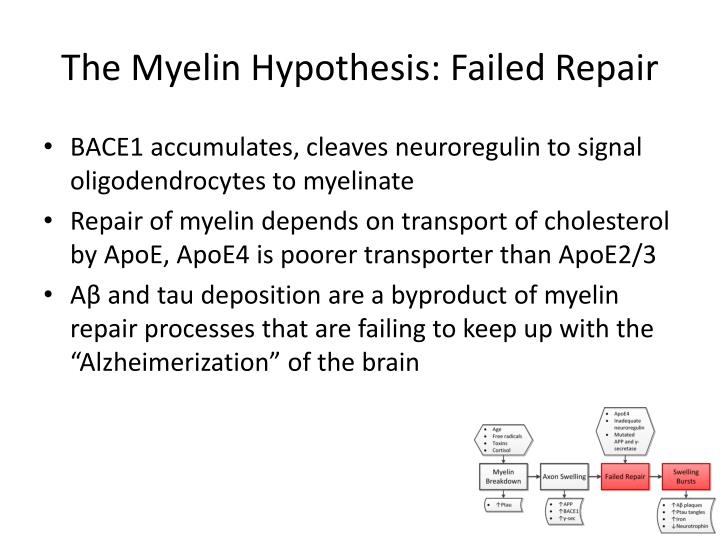 The Myelin Hypothesis: