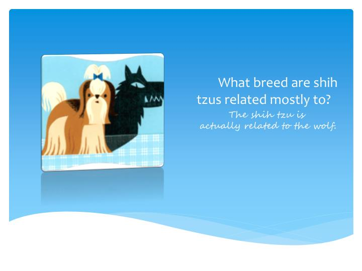 What breed are shih