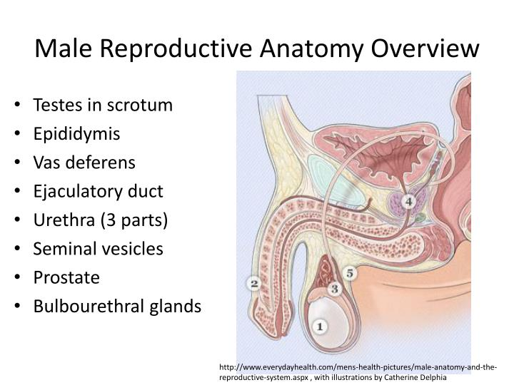 PPT - Reproductive System PowerPoint Presentation - ID:2130773