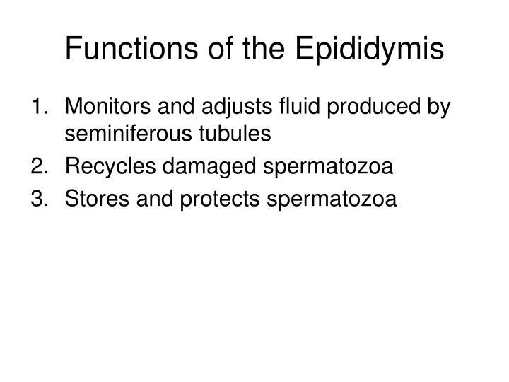 Functions of the Epididymis