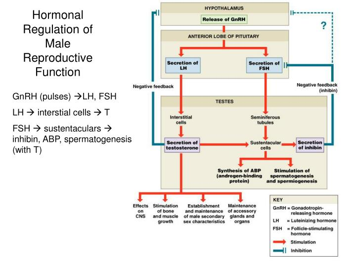 Hormonal Regulation of Male Reproductive Function