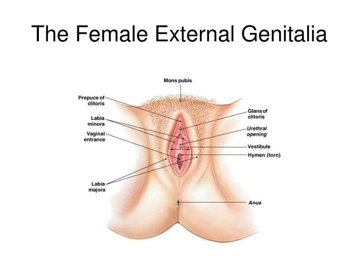 The Female External Genitalia