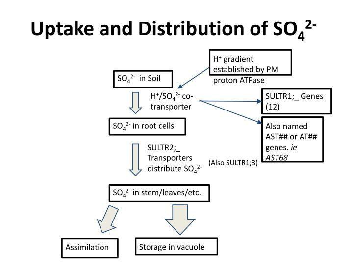 Uptake and distribution of so 4 2