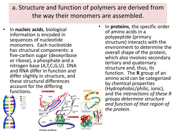 a. Structure and function of polymers are derived from the way their monomers are assembled.