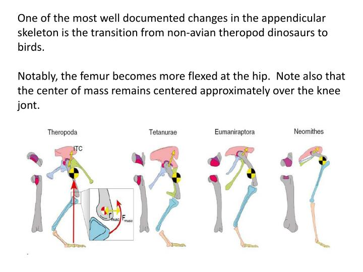 One of the most well documented changes in the appendicular skeleton is the transition from non-avian