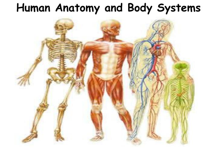 Ppt Human Anatomy And Body Systems Powerpoint Presentation Id
