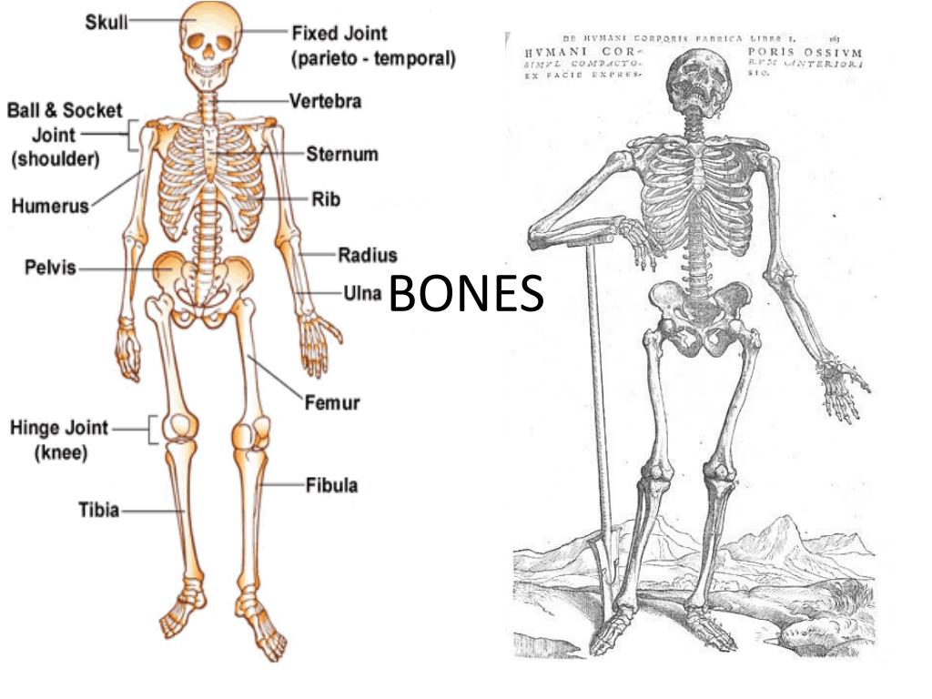 PPT - BONES PowerPoint Presentation, free download - ID:2133790