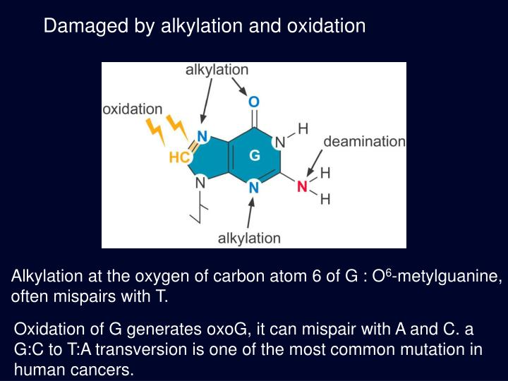 Damaged by alkylation and oxidation
