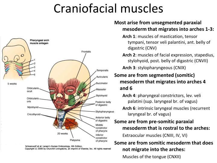 Craniofacial muscles
