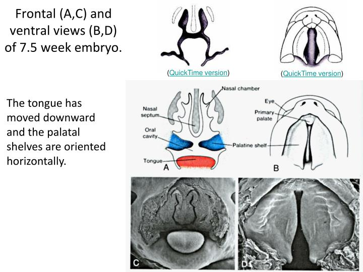 Frontal (A,C) and ventral views (B,D) of 7.5 week embryo.