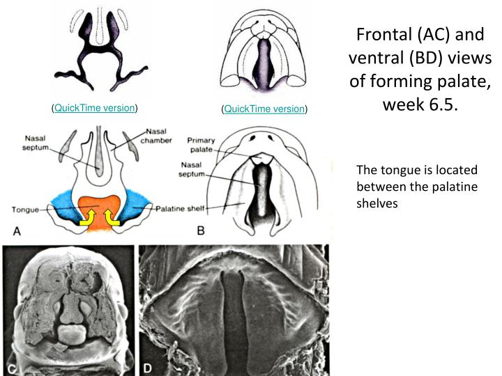 Frontal (AC) and ventral (BD) views of forming palate, week 6.5.