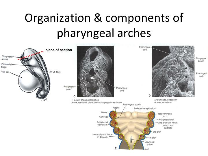 Organization & components of pharyngeal arches