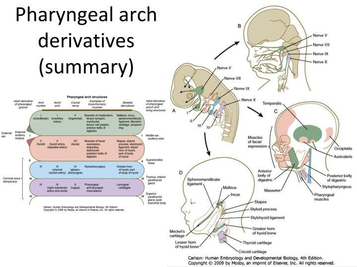 Pharyngeal arch derivatives
