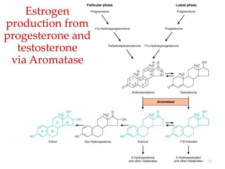 Estrogen production