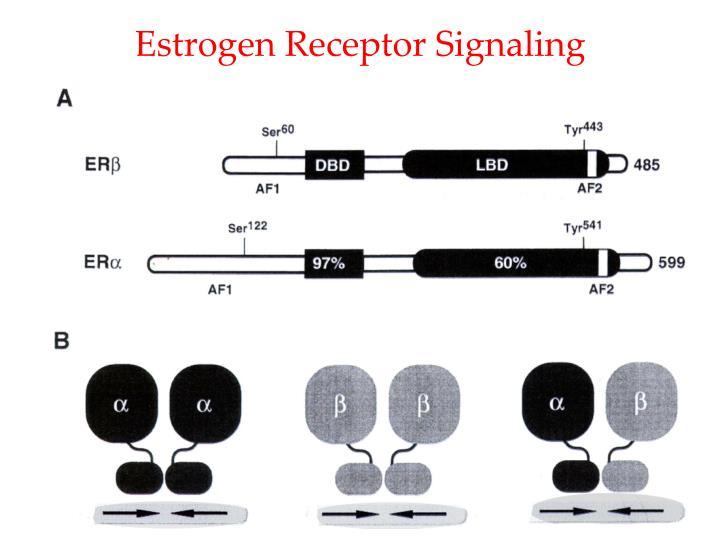 Estrogen Receptor Signaling