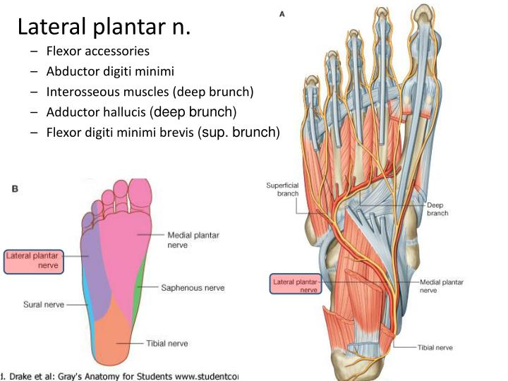 Ppt The Foot Powerpoint Presentation Id2139555