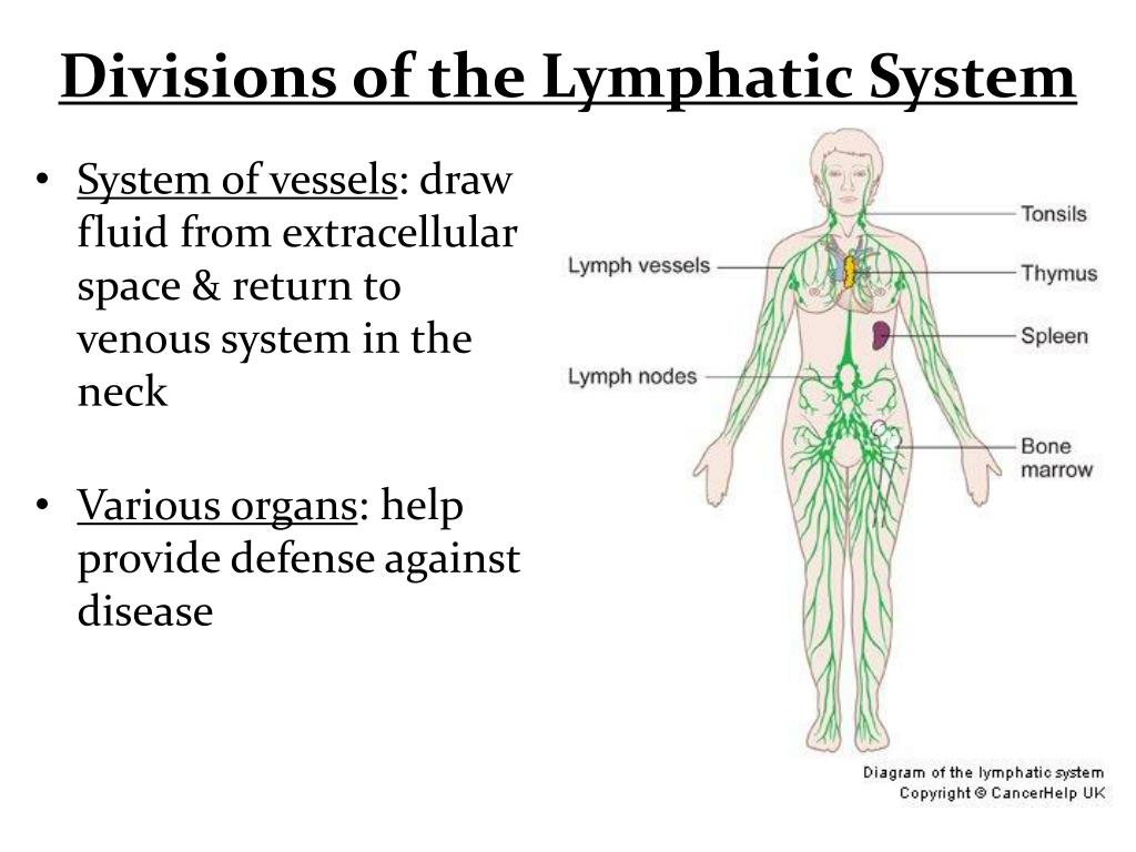Ppt Divisions Of The Lymphatic System Powerpoint Presentation Id