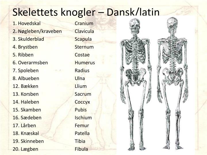 skelettets knogler